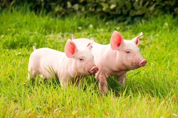 Скачать Обои Свинка