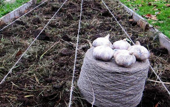 На какую грядку не стоит сажать озимый чеснок, если не хотите получить скудный урожай мелкого больного чеснока