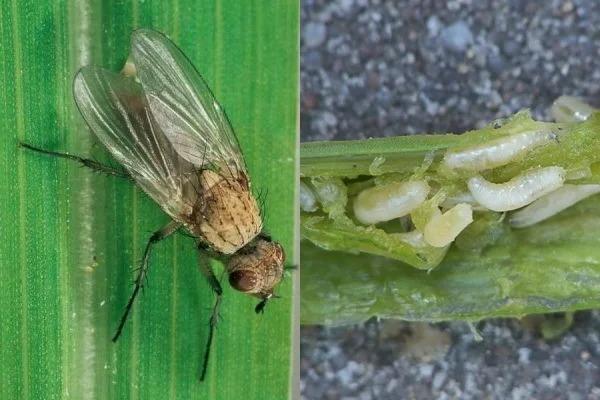 Для того чтобы луковая муха исчезла, необходимо всего 20 минут времени.