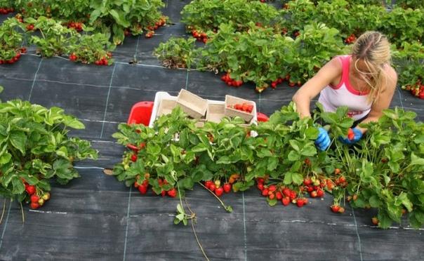 Почему садовую землянику периодически нужно переносить на новое место После каких культур можно сажать клубнику