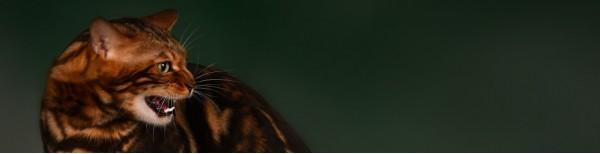 Особенности бенгальских котов Бухарест