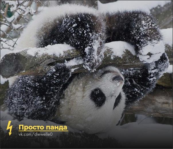 Просто милая панда напоминает, что до конца года осталось всего две милых панды) И мандаринку съешь)