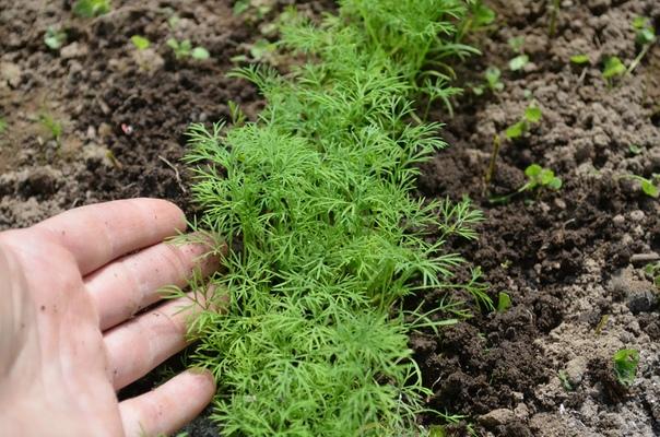 Как посадить укроп в июле, чтобы быстро взошел. Выращиваем пышную зелень