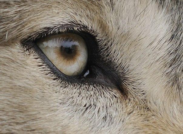 Картинку злого волка из сказок учителей очень